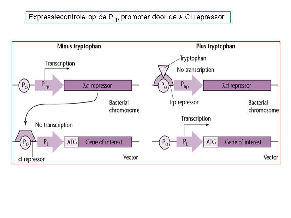 Expressiecontrole op de Ptrp promoter door de l CI repressor