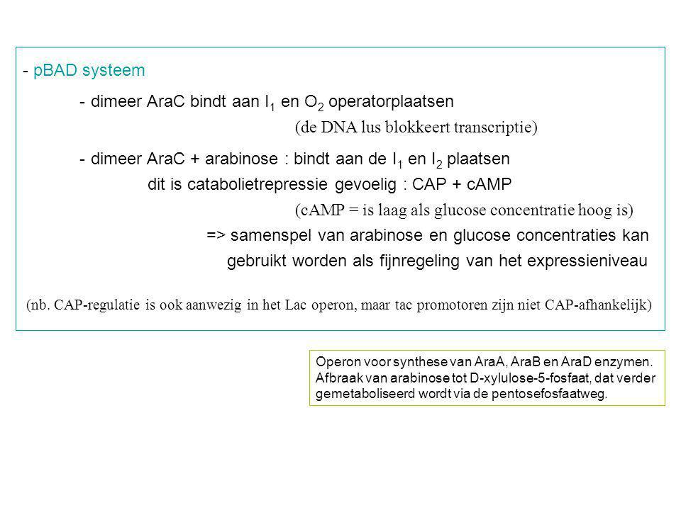 - dimeer AraC bindt aan I1 en O2 operatorplaatsen