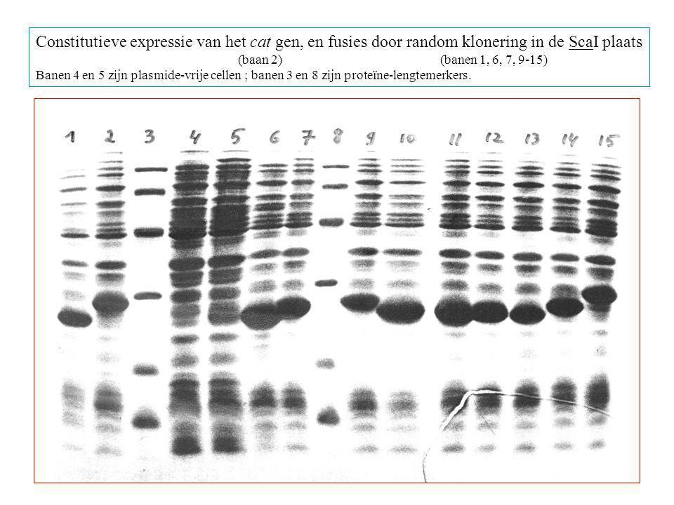 Constitutieve expressie van het cat gen, en fusies door random klonering in de ScaI plaats
