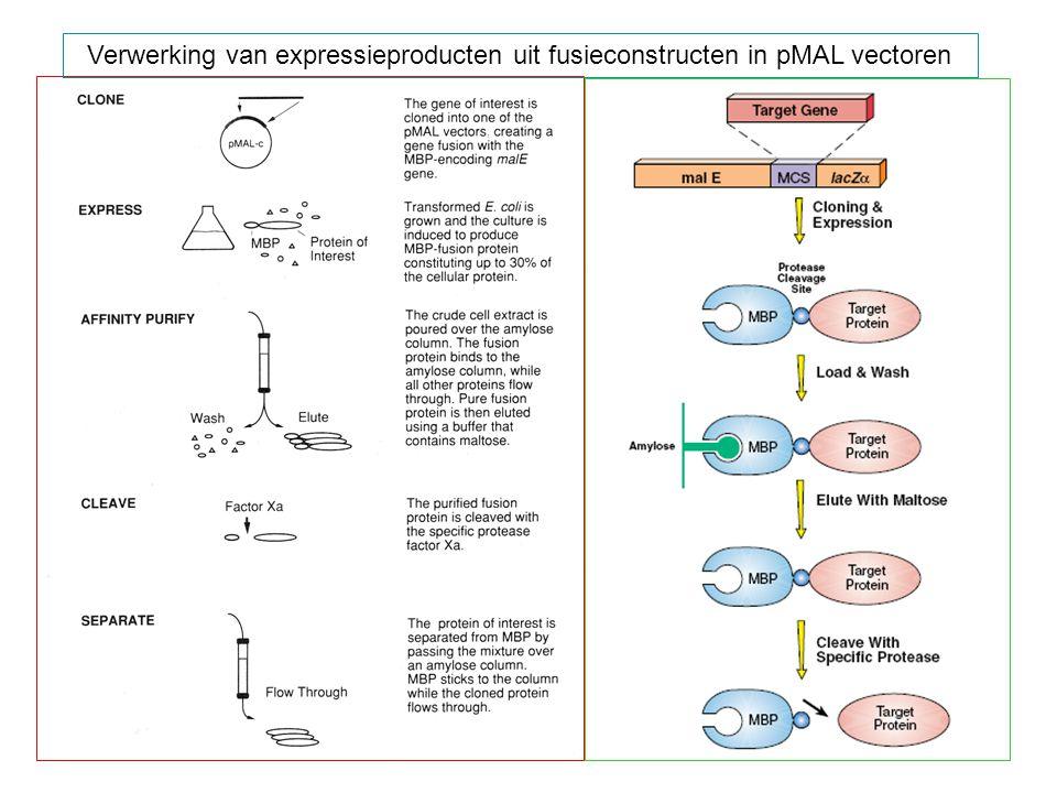 Verwerking van expressieproducten uit fusieconstructen in pMAL vectoren