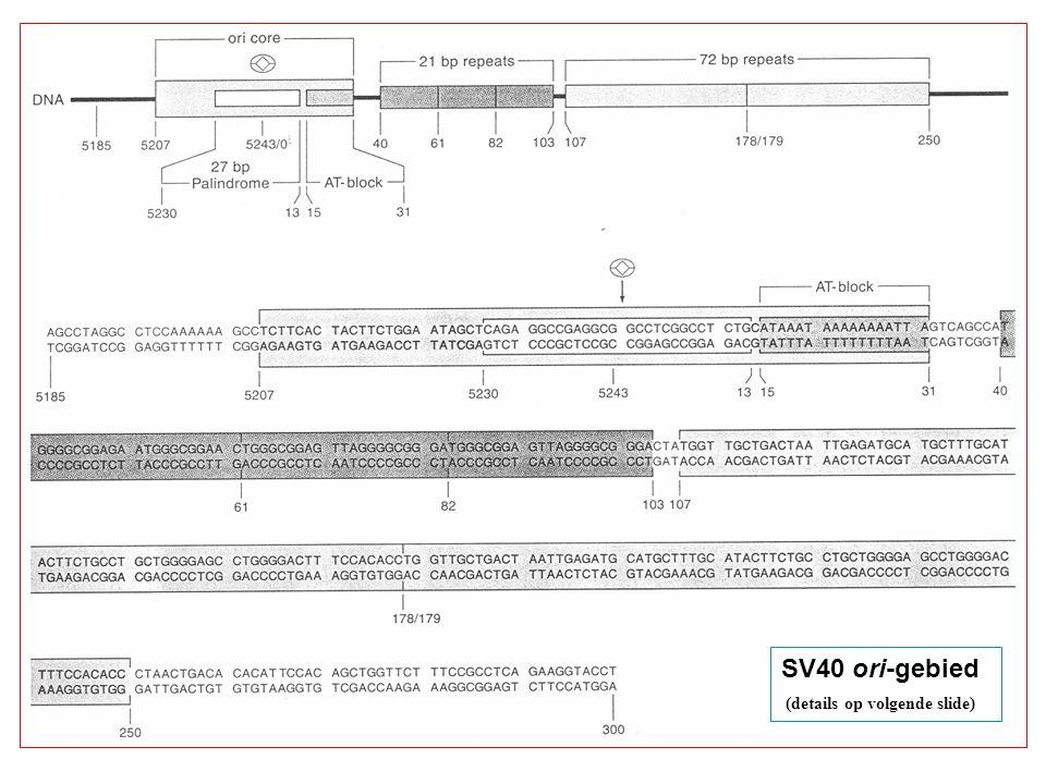 SV40 ori-gebied (details op volgende slide)