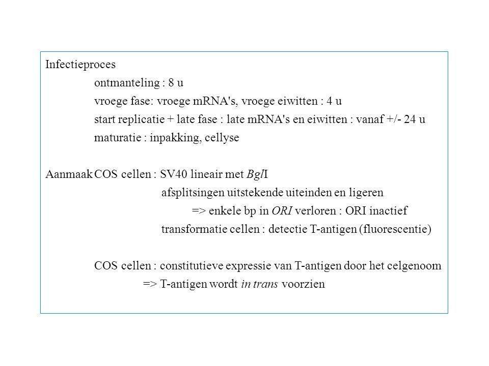 Infectieproces ontmanteling : 8 u. vroege fase: vroege mRNA s, vroege eiwitten : 4 u.