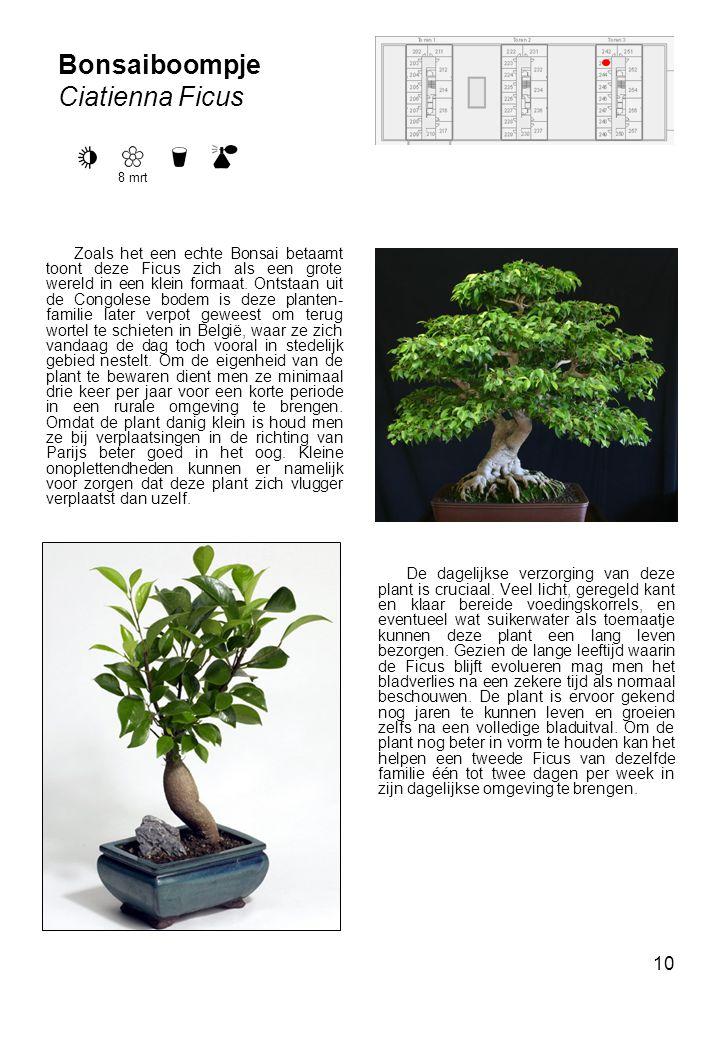 Bonsaiboompje Ciatienna Ficus