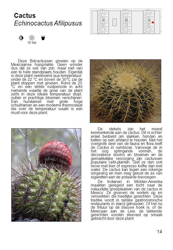 Echinocactus Afilipusus