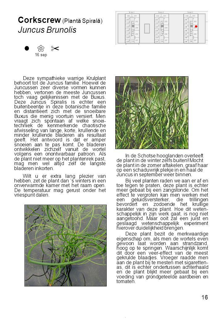 Corkscrew (Plantă Spirală) Juncus Brunolis