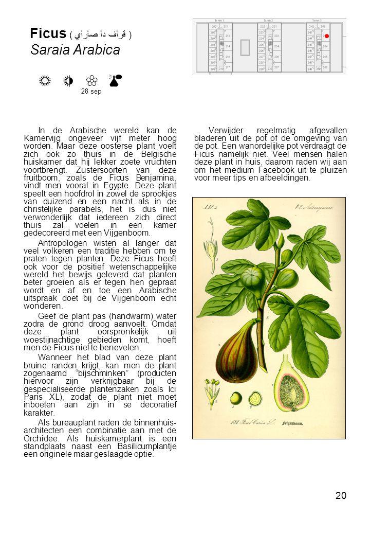 Ficus ( صأرأي دأ قرأف ) Saraia Arabica