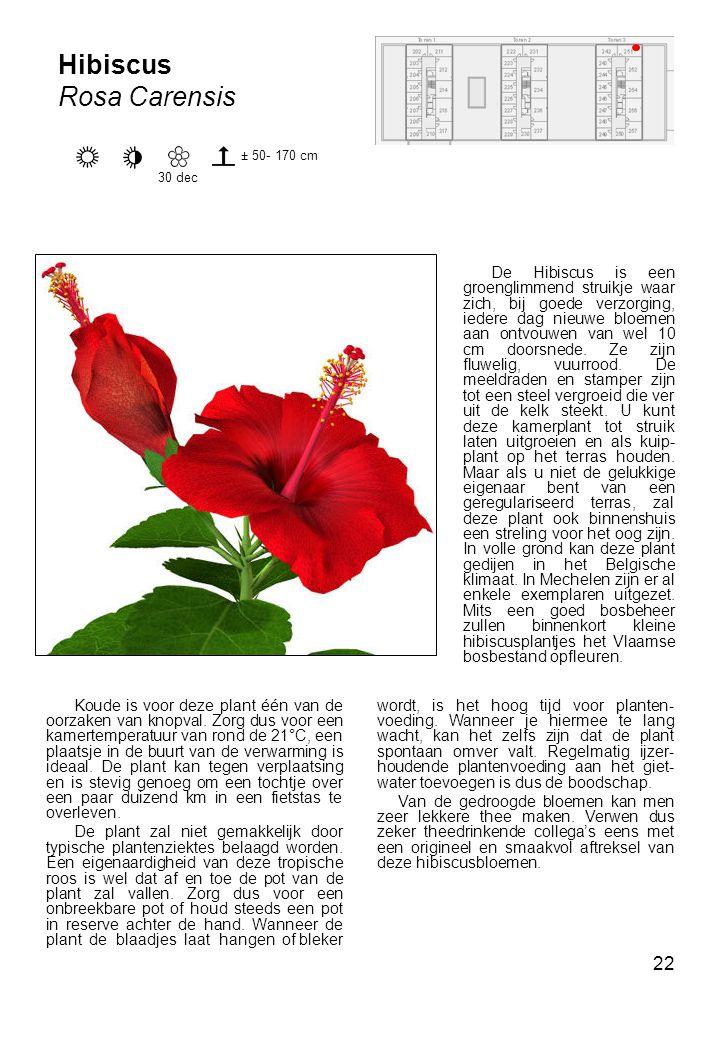 Hibiscus Rosa Carensis