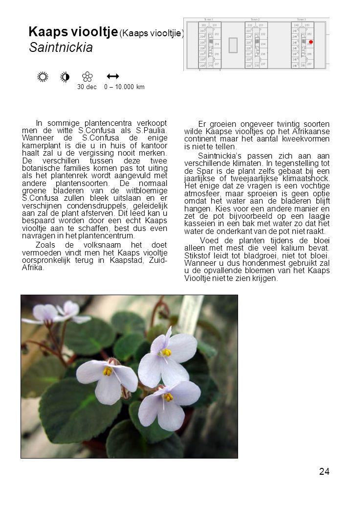 Kaaps viooltje (Kaaps viooltjie) Saintnickia