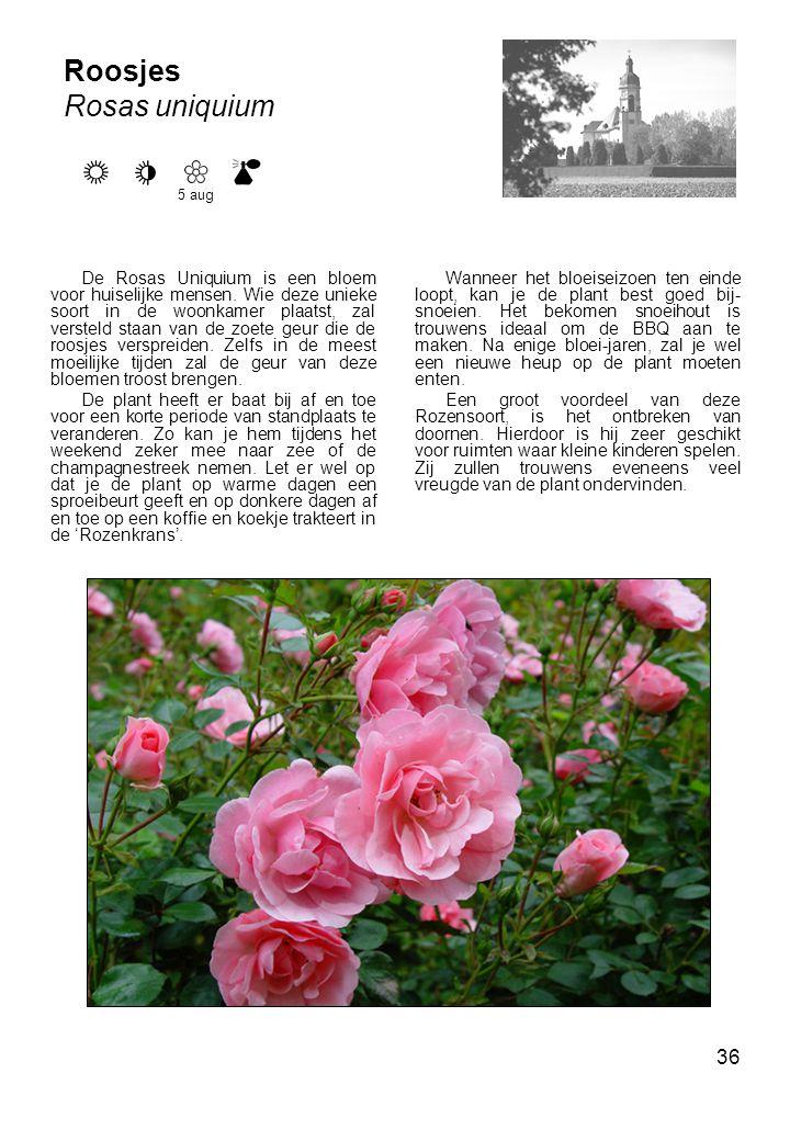 Roosjes Rosas uniquium