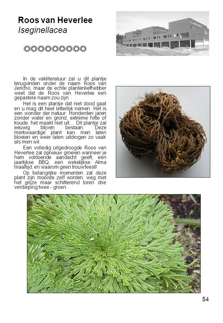 Roos van Heverlee Iseginellacea