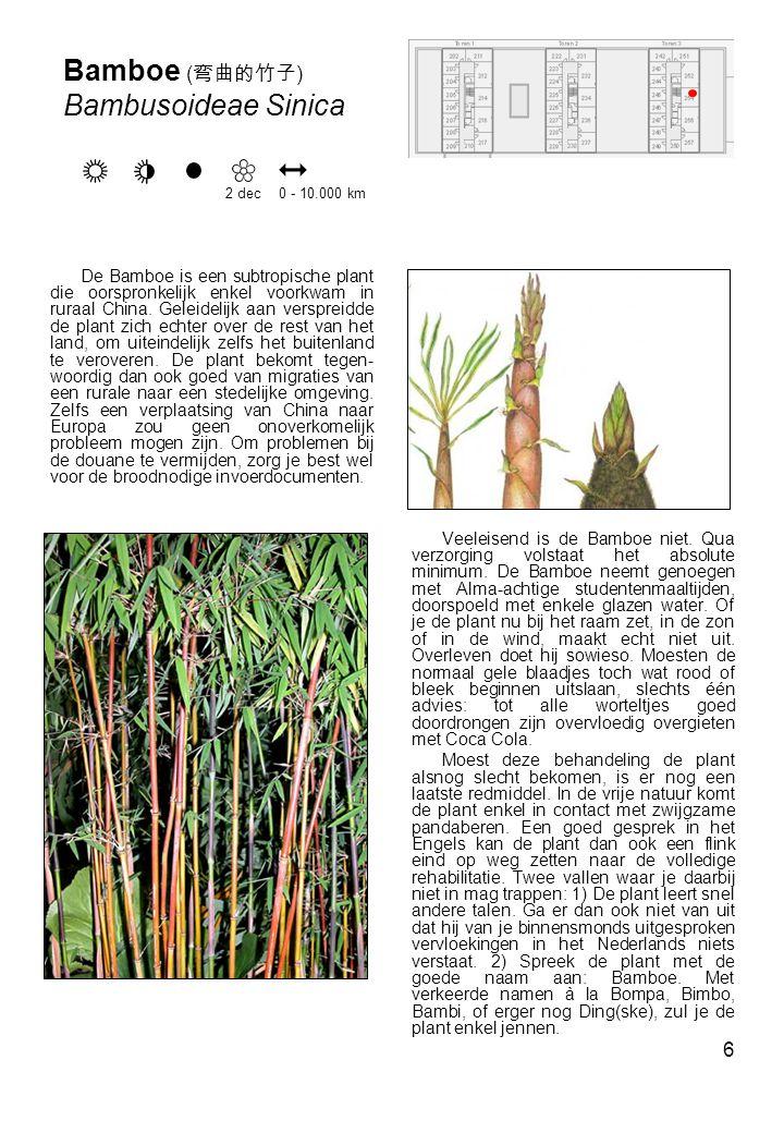 Bamboe (弯曲的竹子) Bambusoideae Sinica