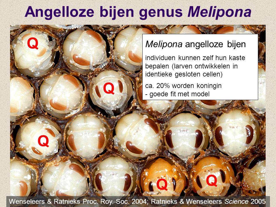 Angelloze bijen genus Melipona