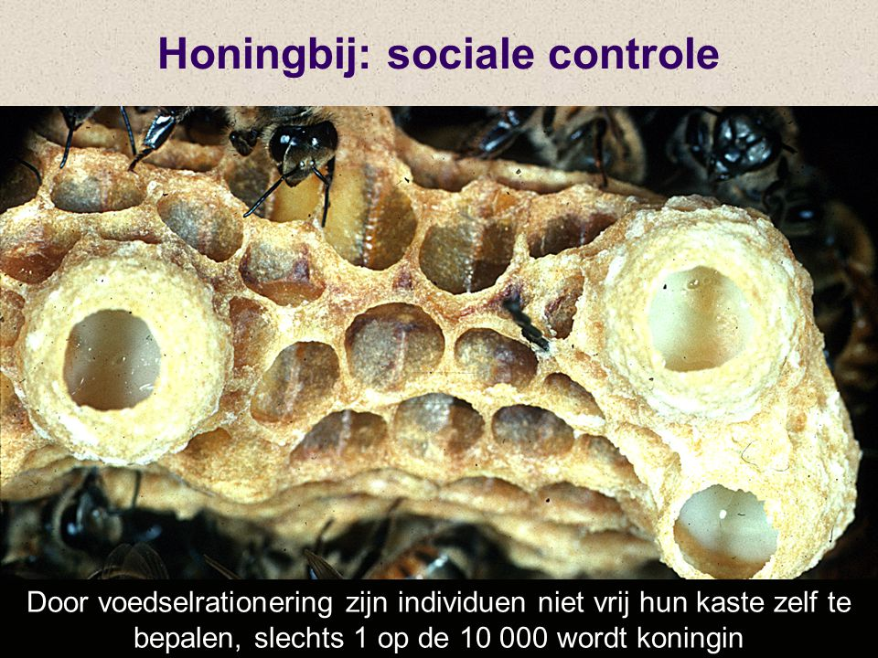 Honingbij: sociale controle