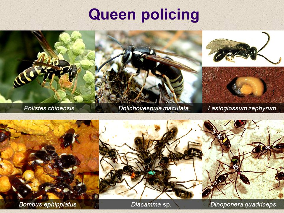 Queen policing Polistes chinensis Dolichovespula maculata Lasioglossum zephyrum.