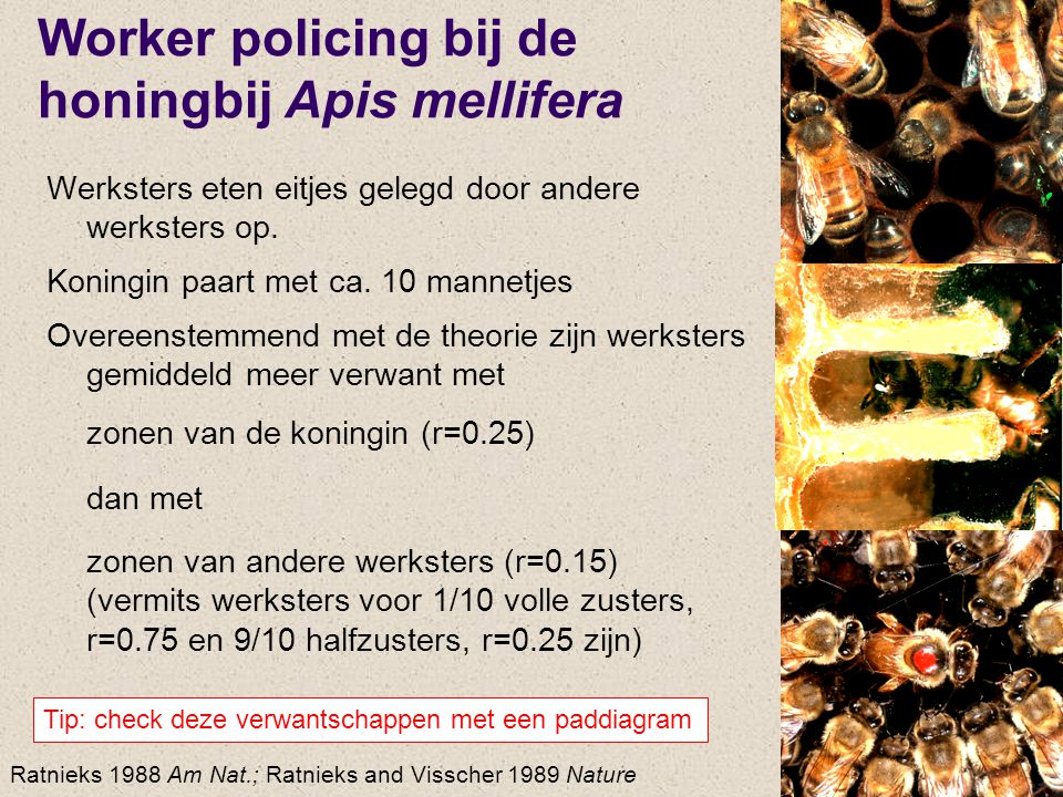 Worker policing bij de honingbij Apis mellifera