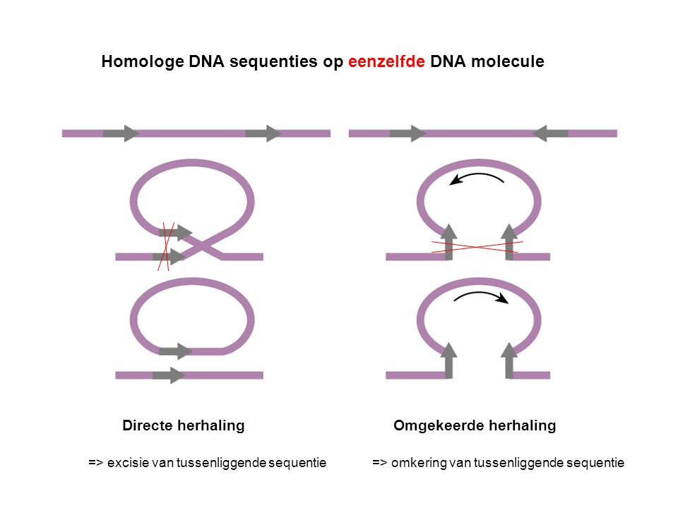 Homologe DNA sequenties op eenzelfde DNA molecule