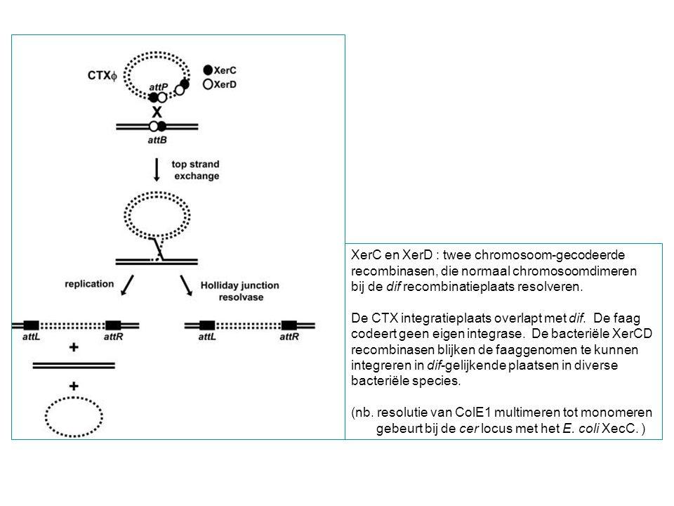 XerC en XerD : twee chromosoom-gecodeerde