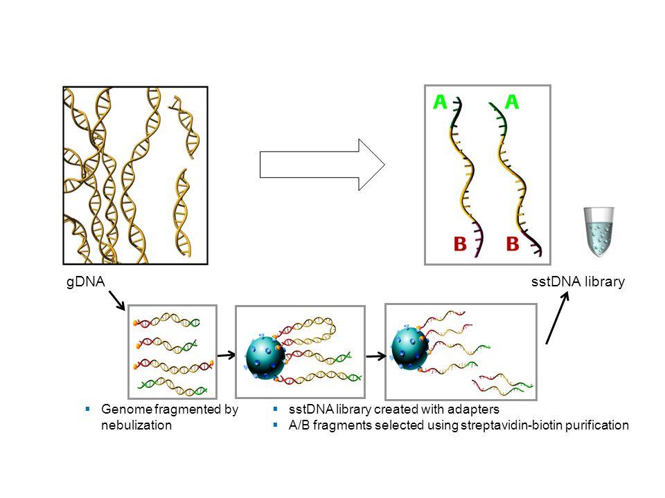 gDNA sstDNA library Genome fragmented by nebulization