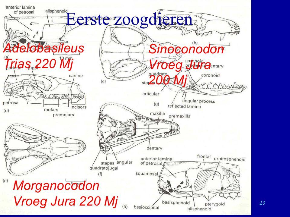 Eerste zoogdieren Adelobasileus Sinoconodon Trias 220 Mj