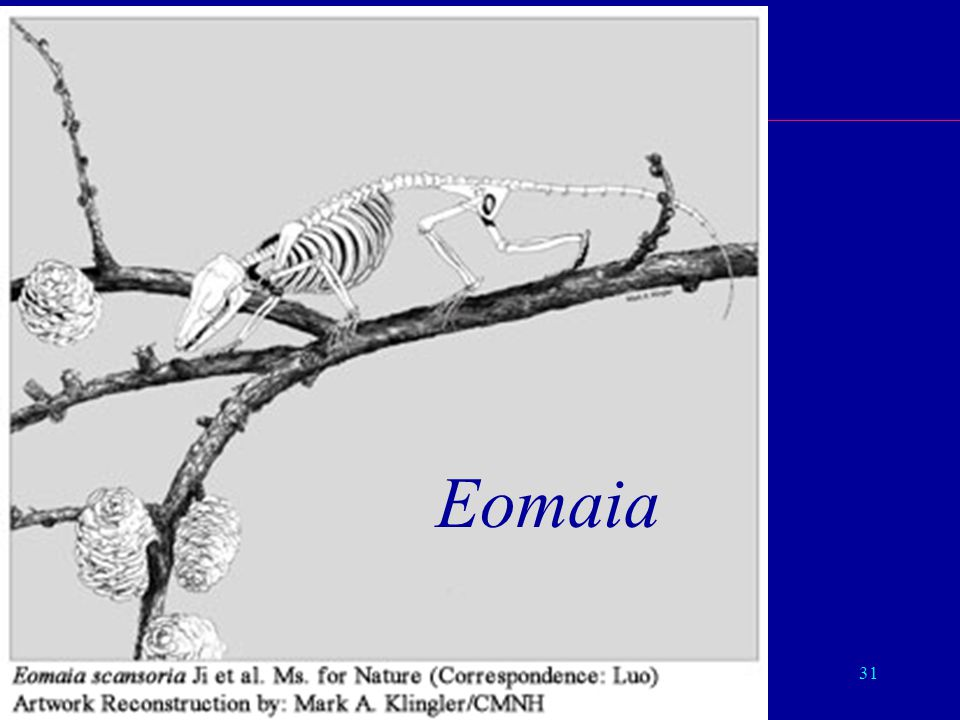 Eomaia Eutheria Eomaia Moleculaire Evolutie 22/04/02