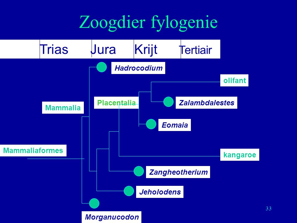 Zoogdier fylogenie Trias Jura Krijt Tertiair Jeholodens Zangheotherium
