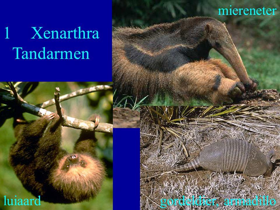 1 Xenarthra Tandarmen miereneter luiaard gordeldier, armadillo