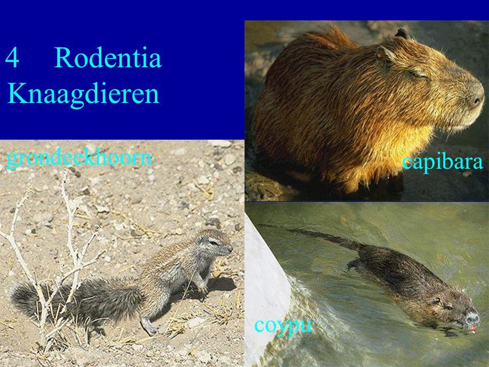 4 Rodentia Knaagdieren grondeekhoorn capibara coypu