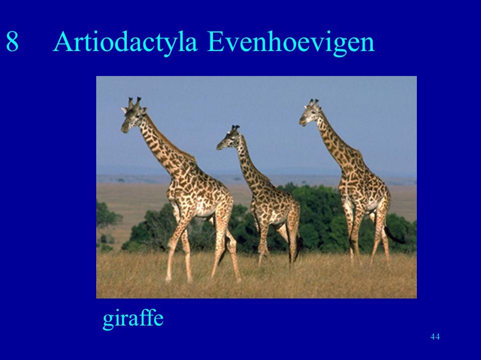 8 Artiodactyla Evenhoevigen
