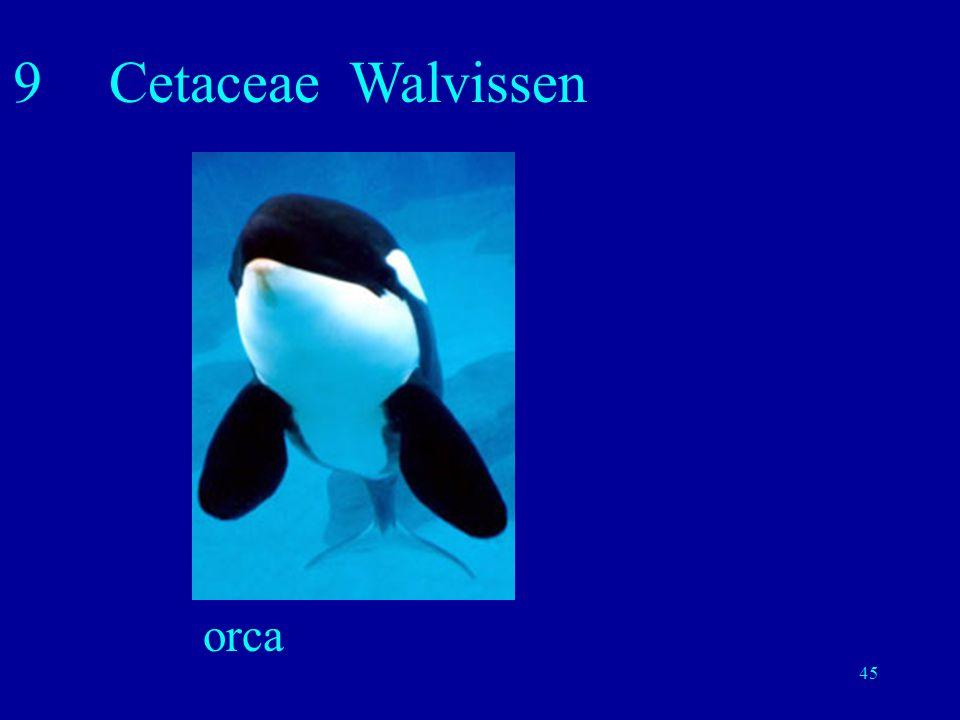 9 Cetaceae Walvissen orca
