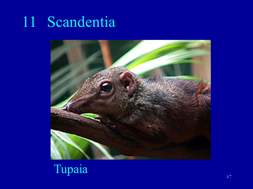 11 Scandentia Tupaia