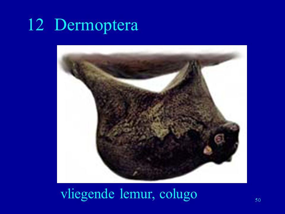 vliegende lemur, colugo