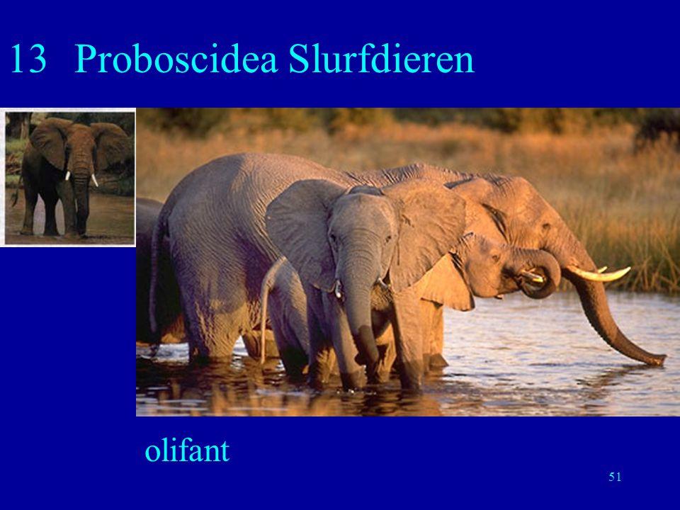 13 Proboscidea Slurfdieren