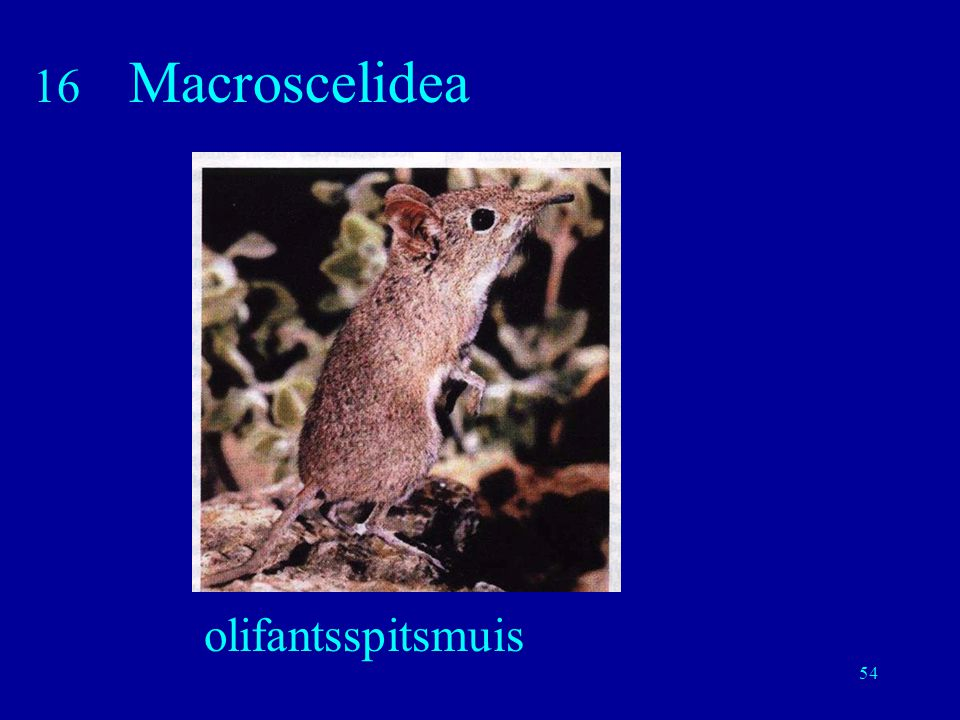 16 Macroscelidea olifantsspitsmuis