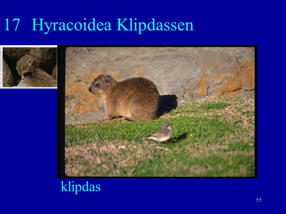 17 Hyracoidea Klipdassen