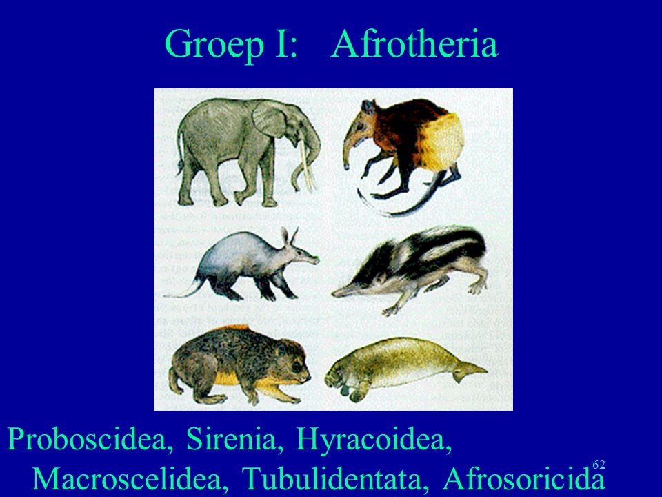 Groep I: Afrotheria Proboscidea, Sirenia, Hyracoidea, Macroscelidea, Tubulidentata, Afrosoricida