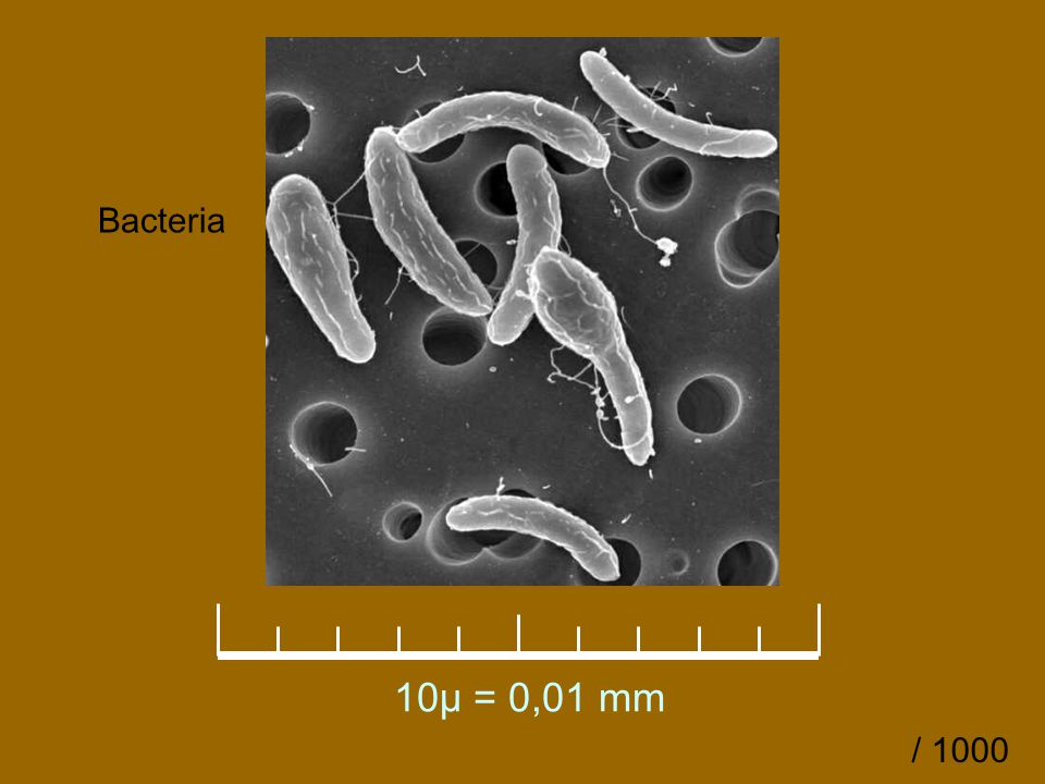 Bacteria 10µ = 0,01 mm / 1000