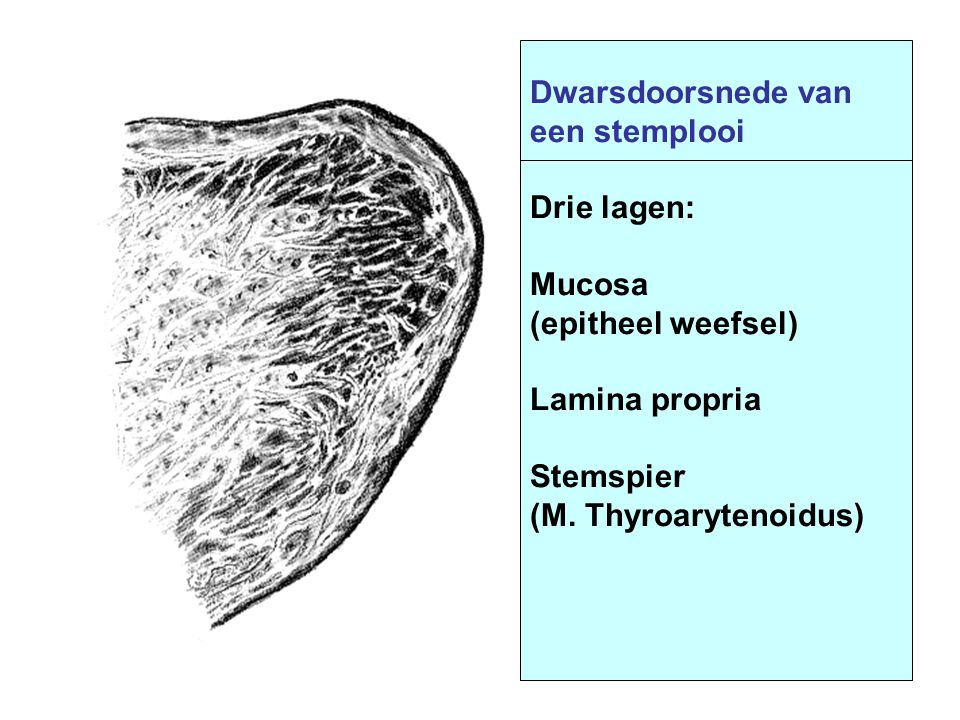 Dwarsdoorsnede van een stemplooi. Drie lagen: Mucosa. (epitheel weefsel) Lamina propria. Stemspier.