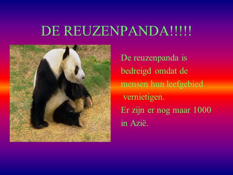 DE REUZENPANDA!!!!! De reuzenpanda is bedreigd omdat de