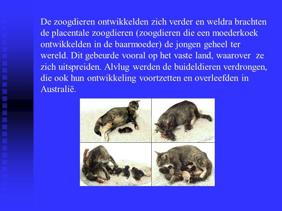 De zoogdieren ontwikkelden zich verder en weldra brachten de placentale zoogdieren (zoogdieren die een moederkoek ontwikkelden in de baarmoeder) de jongen geheel ter wereld.