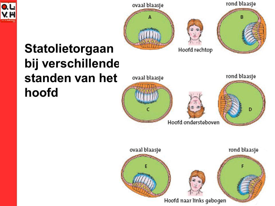 Statolietorgaan bij verschillende standen van het hoofd
