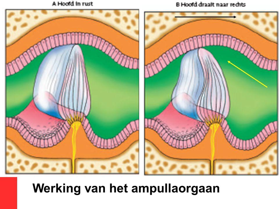 Werking van het ampullaorgaan