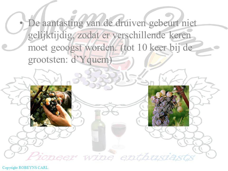 De aantasting van de druiven gebeurt niet gelijktijdig, zodat er verschillende keren moet geoogst worden.