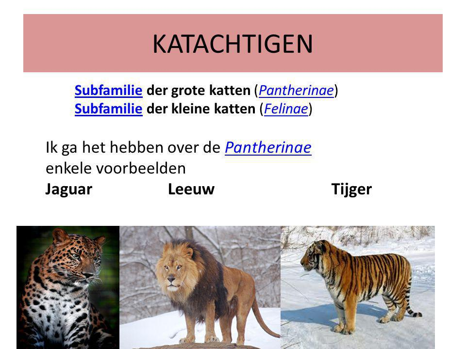 KATACHTIGEN Ik ga het hebben over de Pantherinae enkele voorbeelden