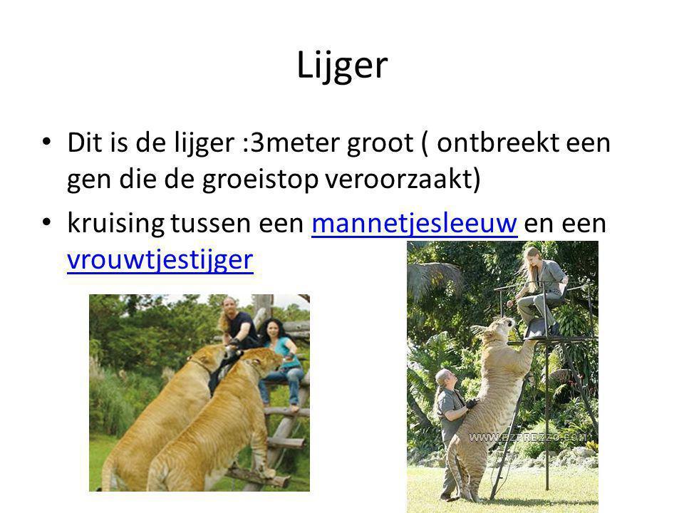 Lijger Dit is de lijger :3meter groot ( ontbreekt een gen die de groeistop veroorzaakt) kruising tussen een mannetjesleeuw en een vrouwtjestijger.