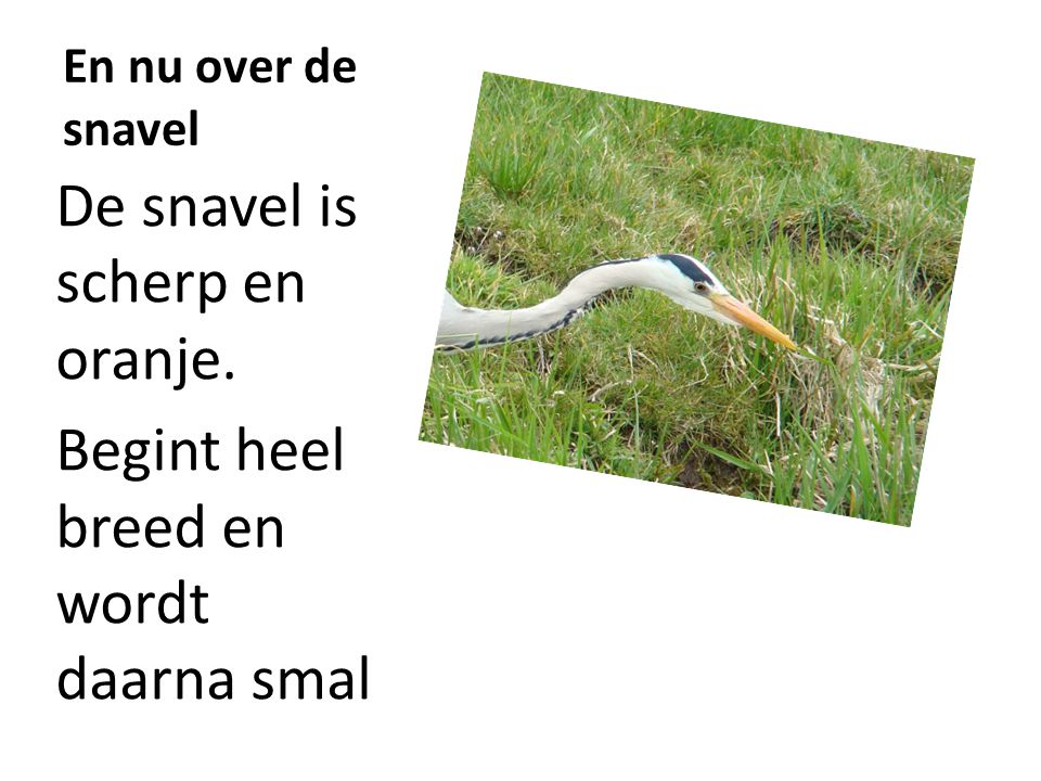 De snavel is scherp en oranje.