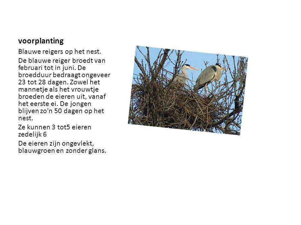 voorplanting Blauwe reigers op het nest.