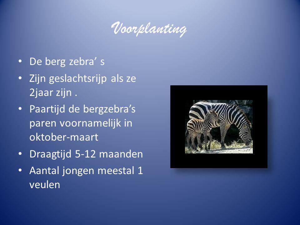 Voorplanting De berg zebra' s Zijn geslachtsrijp als ze 2jaar zijn .