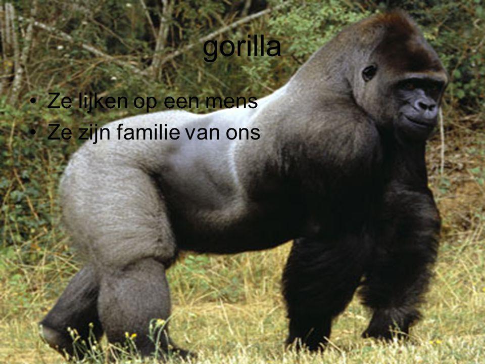 gorilla Ze lijken op een mens Ze zijn familie van ons