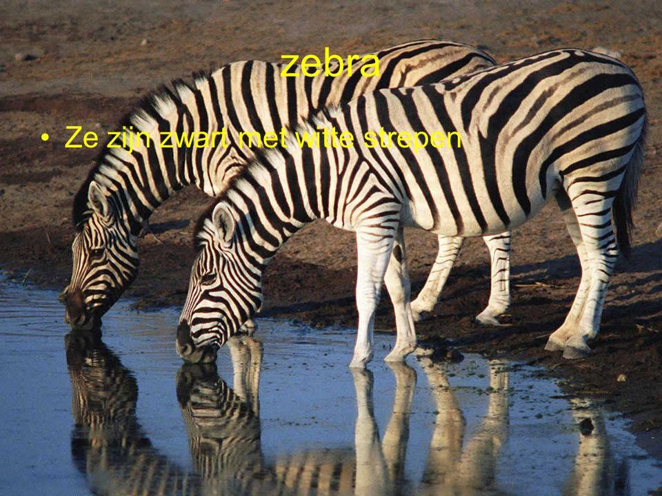 zebra Ze zijn zwart met witte strepen
