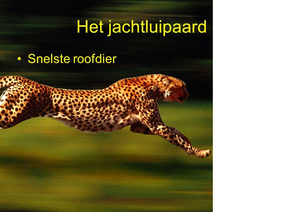 Het jachtluipaard Snelste roofdier